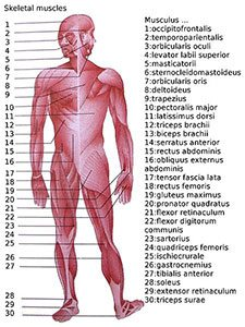 high protein diet muscles of the body spencer coffman